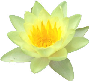 yellow-lotus